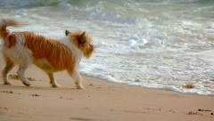 Little Dog Flees from Ocean Waves Stock Footage