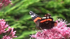 Close up of Atalanta (Vanessa atalanta) in Holland Stock Footage