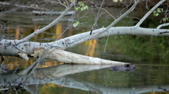 Beaver In Water Stock Footage