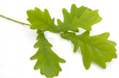 Young green oak leaves on a branch on a white background Stock Photos