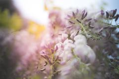 Blurred wisteria May pastel Stock Photos