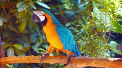 Beautiful, Solitary, Blue and Gold Macaw, Shuffling on his Perch in Captivity Stock Footage