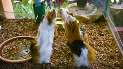 Adorable Guinea Pigs Being Fed Vegetables by Hand Stock Footage