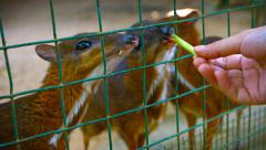 Tourist Feeding Treats to Adorable Mouse-Deer at Petting Zoo Stock Footage