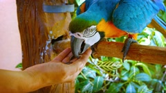 Friendly and Colorful Macaw Eating from Tourist's Hand Stock Footage