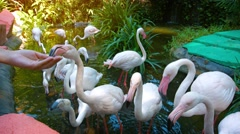 Tourist Feeding Greater Flamingos at an Interactive Zoo Exhibit. Stock Footage