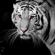Close Up Tiger Kuvituskuvat