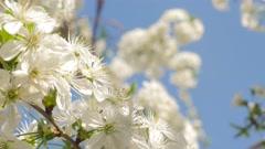 Prunus cerasus blossom branch in front of blue sky 4K 2160p UltraHD slow tilt Stock Footage