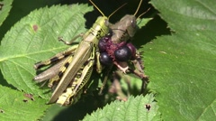 Grasshoppers mating 2 Stock Footage
