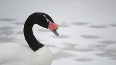 Head of beautiful graceful black necked swan in winter Stock Footage