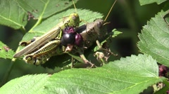Grasshoppers mating Stock Footage
