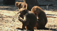 Baboon monkeys sitting next to each other Stock Footage