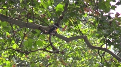 Kingfisher sitting in sycamore tree Stock Footage