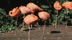 Pink flamingoes standing on one leg Stock Footage