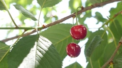 Red sour cherry tree branch with  pair of tasty fruit on wind 4K 2160p UltraH - stock footage