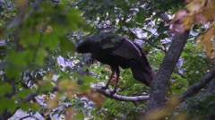 Close up wild turkey roosting in a tree flys away rare shot wildlife nature anim Stock Footage