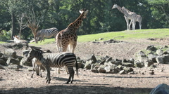 Typical zoo shot of giraffes, zebras and wildebeests - stock footage