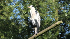 Heron on a branch Stock Footage