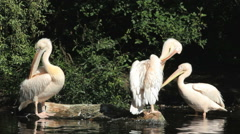 The great white pelican pelecanus onosrotalus also known as eastern white pelica Stock Footage
