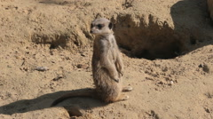 Meerkat looks and watches around while standing on a branch Stock Footage