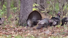 Wild turkey toms strutting wildlife nature animal Stock Footage