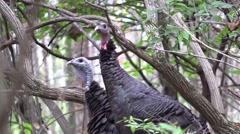 Close up wild turkey hens in forest Stock Footage