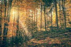 Morning in Wild Old Forest, Autumn season, real sunbeam, vintage style Stock Photos