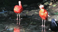 Pink flamingoes standing on one leg - stock footage