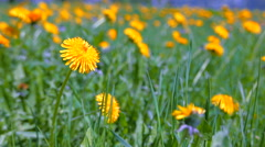 Green grass and yellow flowers in the bright spring sunshine. - stock footage