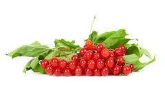 Bunch of red berries- guelder rose Stock Photos