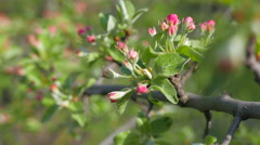 Apple tree branch with blossoming flowers. Stock Footage