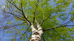 A large greening birch on the background of the sky. The camera glides forward. Stock Footage