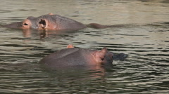 Hippos in the water swimming around Stock Footage