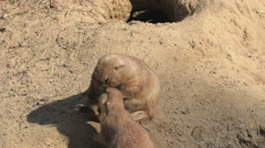 Prairie dogs in a group walking and sitting Stock Footage