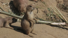 Prairie dog sitting Stock Footage