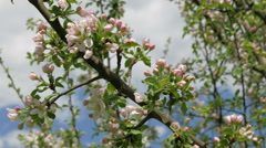 Blossoming apple tree wavers in a light wind. Stock Footage