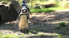 Penguin walking into the camera Stock Footage