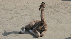 Baby Giraffe is sitting on the ground Stock Footage