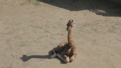 Baby Giraffe sitting on the ground and stands up Stock Footage