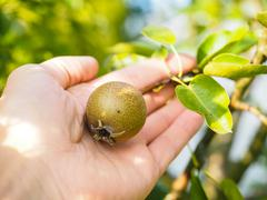 Hand of a Caucasian person harvesting pear - stock photo