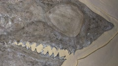 Zoom out of a Fossil Shark, Cretoxyrhina mantelli, - stock footage