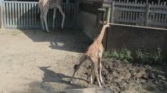 Mother Giraffe looking over her baby Stock Footage