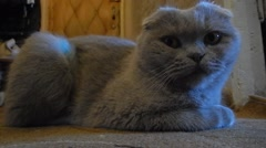 Scottish fold cat closeup Stock Footage
