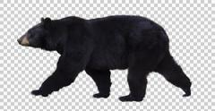 American Black Bear walks Stock Footage