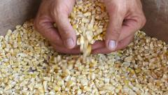 Corn in box scooped by hands Stock Footage