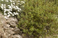 White flowers and evergreen bush in the rock Stock Photos