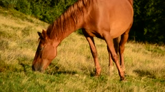 Closeup of brown mare grazing on pasture in late summer Stock Footage