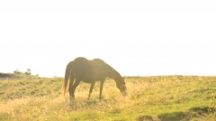 Brown mare grazing on pasture in late summer with back lighting Stock Footage