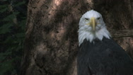 Stock Video Footage of Bald Eagle Profile In Forest