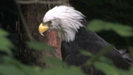 Stock Video Footage of Bald Eagle looking at something